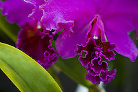 Close up of purple orchids (orchid plant)