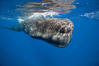 sperm whale, Physeter macrocephalus, Tenerife, Canary Islands, Spain, Atlantic Ocean