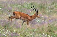 Impala (Aepyceros melampus) buck running through wildflowers, Tarangire National Park, Tanzania.  June.
