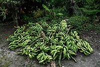 ARMENIA - COLOMBIA, 24-05-2021: El plátano Hartón  es uno de los productos más comercializados en el departamento del Quindío, a causa de los bloqueos su precio bajó a COP 450 por kilo, en fincas como La Máquina del municipio de Montenegro, Quindío, la cantidad represada de este alimento está alrededor de una tonelada. A más de un mes del inicio del Paro Nacional, los campesinos han tenido que reinventar la forma para mantener sus cultivos y criaderos activos para minimizar las pérdidas por los bloqueos que aún se mantienen en las vías. Según cifras del Ministerio de Hacienda, las pérdidas diarias están en un monto de $480.000 millones de pesos colombianos, lo cual sumando la totalidad de los días del Paro Nacional, suman un total de $10,8 billones de pesos colombianos./ The banana is one of the most traded products in the department of Quindío, because of the blockades its price dropped to COP 450 per kilo, in farms such as La Máquina in the municipality of Montenegro, Quindío, the amount of this food is around one ton. More than a month after the beginning of the National Strike, farmers have had to reinvent the way to keep their crops and farms active in order to minimize losses due to the blockades that still remain on the roads. According to figures from the Ministry of Finance, the daily losses are in the amount of $480,000 million Colombian pesos, which adding all the days of the National Strike, add up to a total of $10.8 billion Colombian pesos. Photo: VizzorImage / Santiago Castro / Cont