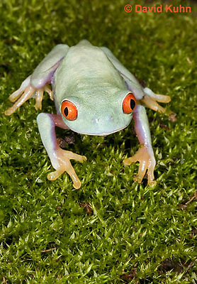 0306-0914  Red-eyed Tree Froglet (Young Frog), Agalychnis callidryas  © David Kuhn/Dwight Kuhn Photography.