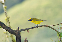 Female thick-billed euphonia, Euphonia laniirostris, Tandayapa Valley, Ecuador