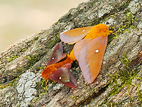 A pair of Southern Pink-striped Oakworm Moths (Anisota virginiensis) mate on the side of an oak tree.