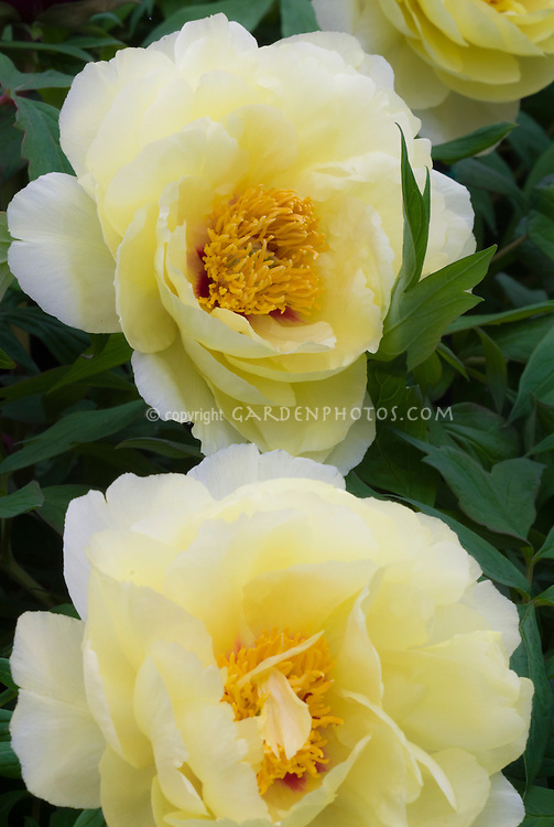 Peonies Paeonia 'High Noon' (S) yellow, tree peony, with red at base