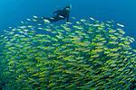Schooling Bigeye Snappers (Lutjanus lutjanus) with diver.