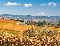 Gift card photo (set of 4) of Willamette Valley wine country west of Portland, OR showing yellow Fall  color of vineyards and grapevines with snowy Mt Hood in the background