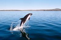 Peale's dolphin, Lagenorhynchus australis, leaping, Falkland Islands, British Overseas Territories, United Kingdom, South Atlantic