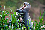 Giant Otters (Pteronura brasiliensis) playing. Piquiri River, northern Pantanal, Brazil.