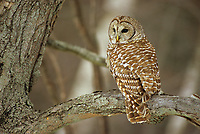 Adult Barred Owl (Strix varia) still hunting on a winter day. When food is scarce Barred Owls from the northern limts of this species range can sometimes be found hunting by day when food is scarce. Ontario, Canada.