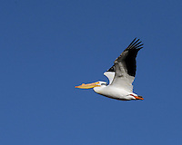 White Pelican, Port Aransas, Texas