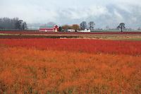 Blueberry fields near Woodland, Washington