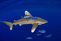 oceanic whitetip shark, Carcharhinus longimanus, accompanied by pilotfish ( Naucrates ductor ), open ocean, Hawaii ( Central Pacific Ocean )