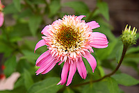 Echinacea Pink Double Delight double flowered coneflower