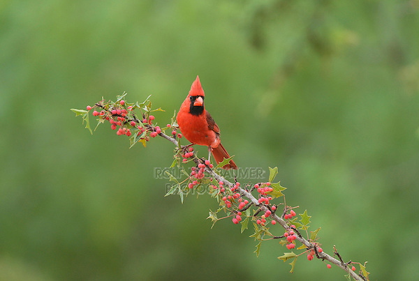 Northern Cardinal (Cardinalis cardinalis), adult male perched on Agarita (Berberis trifoliolata) with berries, Rio Grande Valley, South Texas, Texas, USA