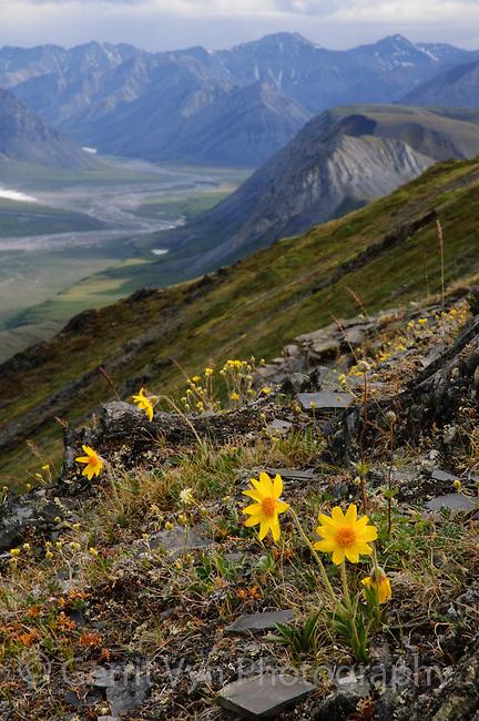 Wildflowers blooming in Alaska's Brooks Range. Arctic National Wildlife Refuge, Alaska. June.