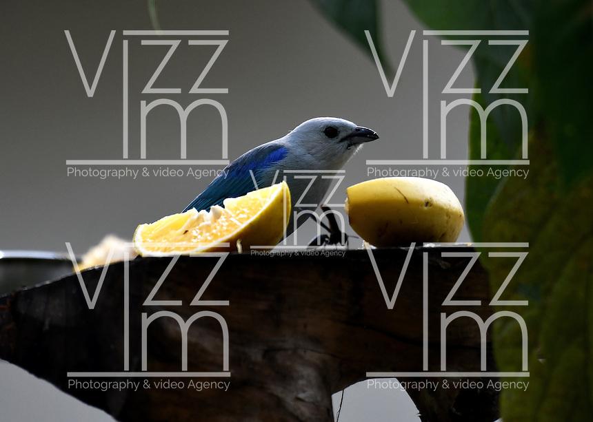 CALI - COLOMBIA, 25-11-2016: Azulejo, especie de ave presente en el norte de Cali. / Azulejo, bird species present in north of Cali Photo: VizzorImage / Luis Ramirez / Staff.