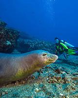 Diver MR) with a Hawaiian monk seal, Neomonachus schauinslandi, endemic and endangered), Niihau Island, Hawaii.