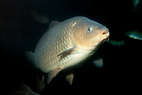 Common carp or European carp, Cyprinus carpio carpio, widespread freshwater fish of eutrophic waters in lakes and large rivers in Europe notably the Danube and Volga rivers, often considered an invasive species ( c )