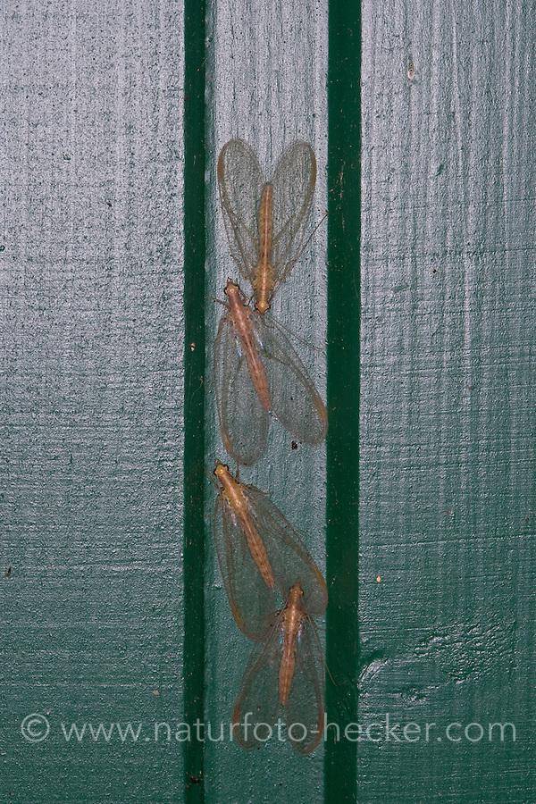 Florfliege, Grüne Florfliege, Goldauge, Überwinterung im Haus, Chrysoperla carnea s.l., common green lacewing, green lace-wing, Florfliegen, Goldaugen, Chrysopidae, Green lacewings, Green lace-wings
