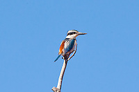 Red-Backed Kingfisher, road Devil's Marbles to Ti Tree, NT Outback, Australia