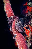 longsnout seahorse,, Hippocampus reidi, St. Croix, U.S. Virgin Islands ( USVI or U.S.V.I. ) West Indies ( Caribbean Sea ), Atlantic