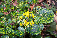 Farfugium japonicum 'Aureomaculatum' Leopard Plant in yellow blooms, variegated gold and green foliage
