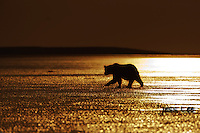 A silhoutte sunset photo of a coastal brown bear walking along the beach. Grizzly Bear or brown bear alaska Alaska Brown bears also known as Costal Grizzlies or grizzly bears Grizzly Bear Photos, Alaska Brown Bear with cubs. Purchase grizzly bear fine art limited edition prints here Grizzly Bear Photo Bear Photos,