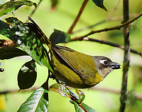 Common Bush-Tanager