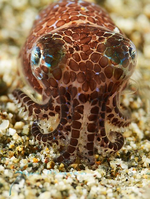 Bobtail squid eating shrimp, Berry's Bobtail squid, Euprymna berryi, Anilao 2015