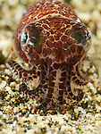 Bobtail squid eating shrimp, Berry's Bobtail squid, Euprymna berryi, Anilao 2015