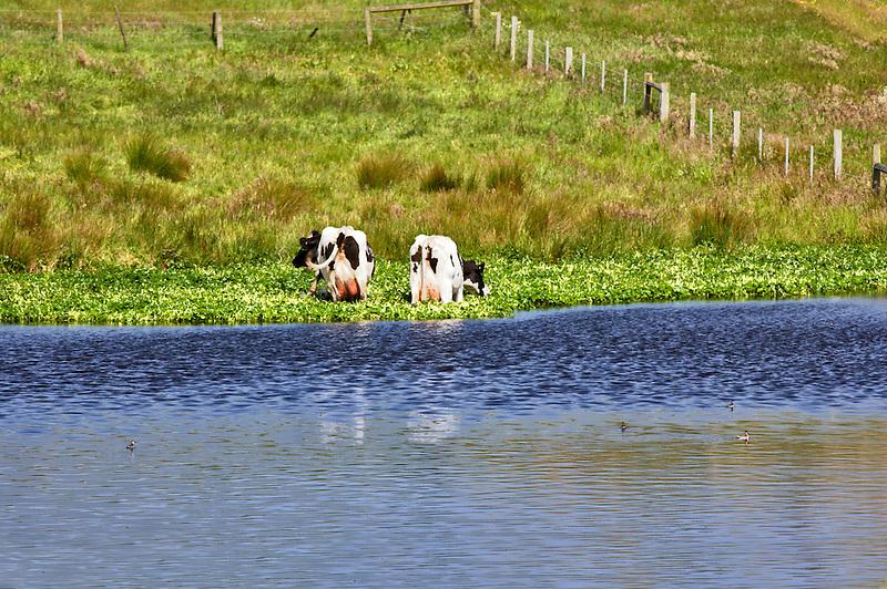 Holstein cows grazing next to pond. Point Reyes National Seashore. California