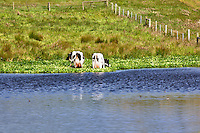 Holstein cows grazing next to pond. Point Reyes National Seashore. California