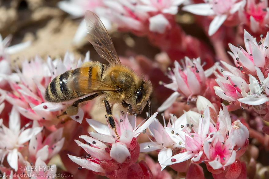 Honey Bee {Apis mellifera} worker feeding on English stonecrop (Sedum anglicum) flowers. Devon, UK. June.