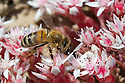 Honey Bee {Apis mellifera} worker feeding on English stonecrop (Sedum anglicum) flowers. Devon, UK. June.