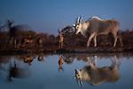 Common eland (Taurotragus oryx) and impala (Aepyceros melampus), Central District, Botswana<br /> <br /> Canon EOS-1D X Mark II, EF24-70mm f/4L IS USM lens, f/4 for 1.3 seconds, ISO 320