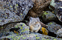 American pika (Ochotona princeps).  Beartooth Mountains, Wyoming/Montana border.  Fall.  This photo was taken in alpine setting at around 11,000 feet (3350 meters) elevation.
