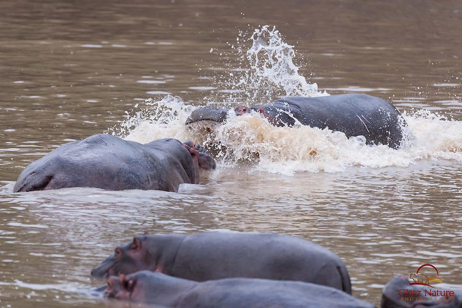 Mother Hippopotamus (Hippopotamus amphibius) fights off curious male approaching her baby