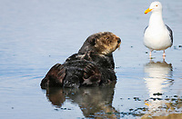 Southern sea otter or California sea otter Enhydra lutris nereis, male, and western gull, Larus occidentalis, Monterey Bay National Marine Sanctuary, Monterey, California, USA, Pacific Ocean