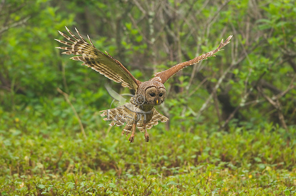 Barred Owl hunting in southern swamp.  LA.