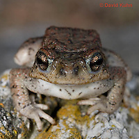 1101-0804  Adult Red-spotted Toad (Southwestern United States), Anaxyrus punctatus, formerly Bufo punctatus  © David Kuhn/Dwight Kuhn Photography.