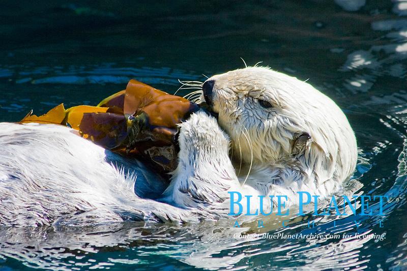 California Sea Otter (Enhydra lutris nereis) Eating Kelp, Point Defiance Aquarium, WA (c) (do)