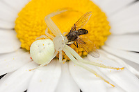 A Goldenrod Crab Spider (Misumena vatia) - Female holds onto a fly caught on an Oxeye Daisy flower, Bald Eagle State Park, Howard, Centre County, Pennsylvania