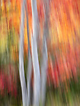 Abstract impressionistic movement of trees donning vibrant fall colors in Acadia National Park, Maine, USA
