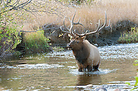 Bull Elk, Rocky Mountain National Park, Colorado