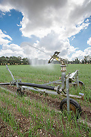 Irrigating onions with a rain gun - Norfolk, July