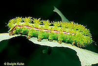 LE43-005a  Moth - Io Moth caterpillar - Automeris io