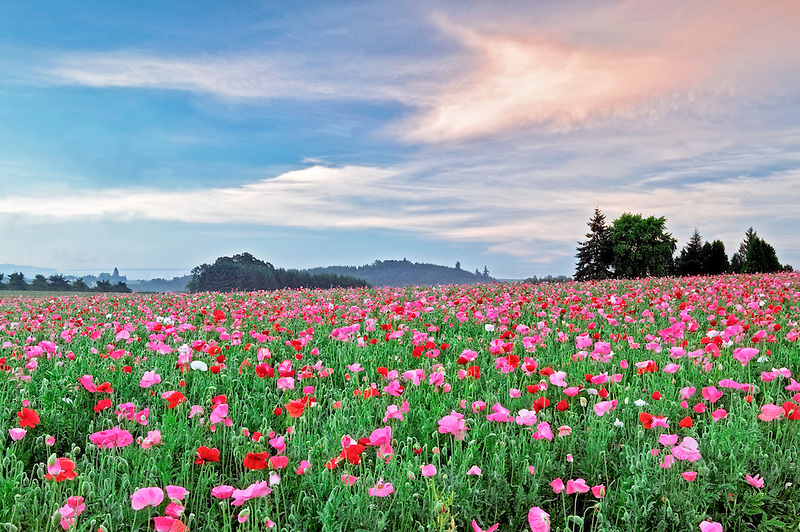 Mixed poppy field. Marion County, Oregon