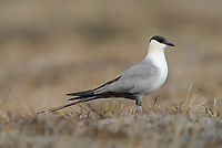 Long-tailed Jaeger (Stercorarius longicaudus). In the Arctic this species is the most widely distributed and abundant jaeger. It Breeds the farthest north of any jaeger, and as far north as any bird species. Its diet in the breeing season  consists primarily of lemmings and voles, so this bird is vulnerable to cycles in the densities of these rodents. Because it depends on rodents only for breeding, it can survive crashes in rodent numbers without the high mortality experienced by other arctic predators. In years with low densities of lemmings, the Long-tailed Jaeger simply does not breed and returns to sea. Yukon Delta National Wildlife Refuge, Alaska. May.