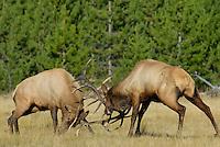 Rocky Mountain Bull Elk (Cervus elaphus) sparring--battling over cows during fall rut.  Western U.S., Sept.