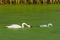 Trumpeter Swan (Cyngus buccinator) with cygnet feeding on duckweed, Western U.S., June.  Duckweed is an important high-protein food source for waterfowl.